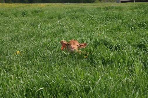 Calf in the field