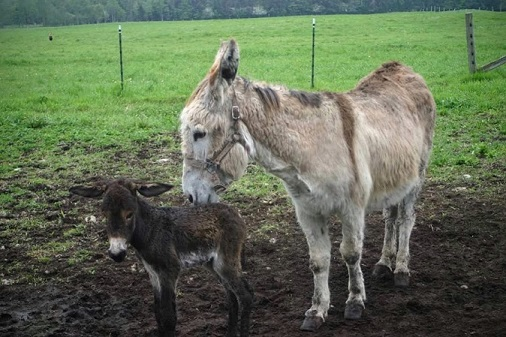 Donkeys at the farm